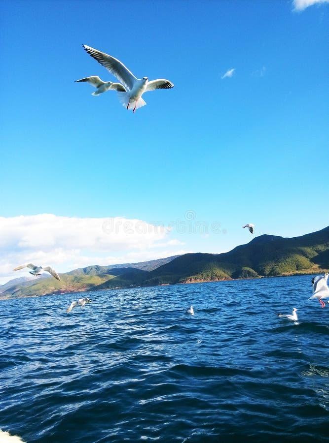 Lugu Lake and seagull royalty free stock photos