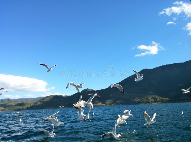 Lugu Lake and seagull 2 stock photos