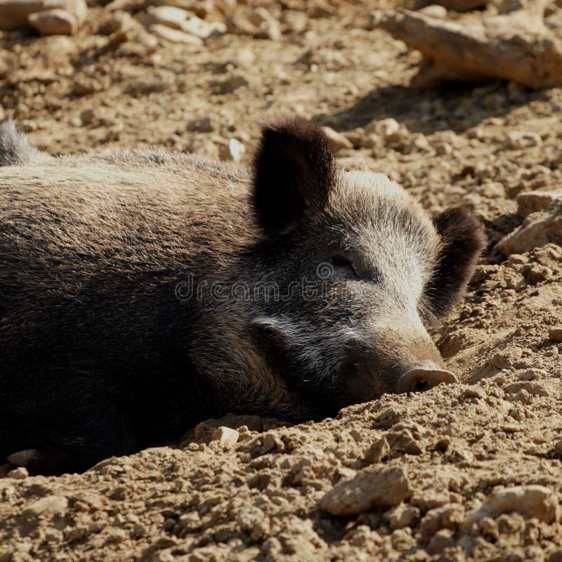 Lui varken in organisch landbouwbedrijf stock foto