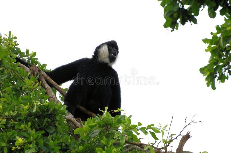 De zeer lawaaierige aap van de Gibbon op boombovenkant royalty-vrije stock foto's