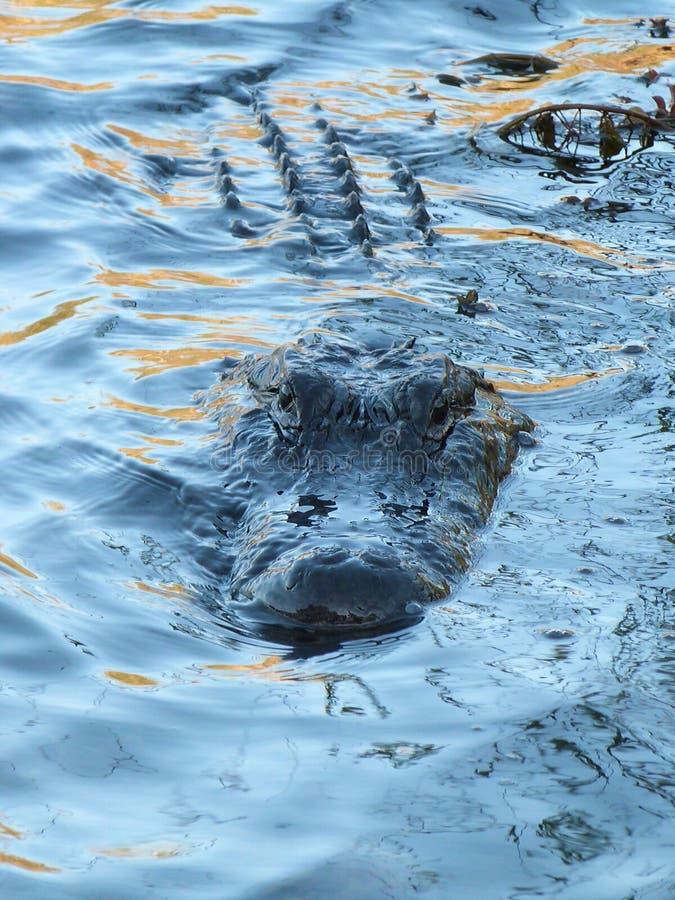 Luie Alligator stock fotografie