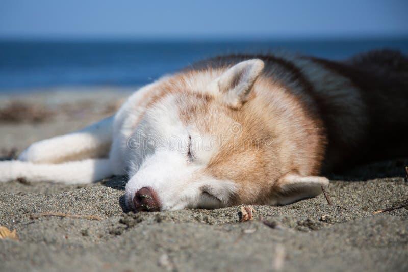 Luie dag van zoete beige hond op de kust van het overzees Portret van het rassen Siberische schor van de slaaphond stock foto's