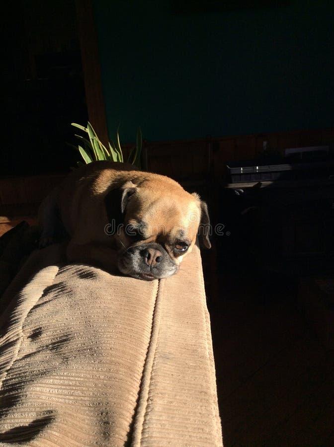 Luie hond stock foto
