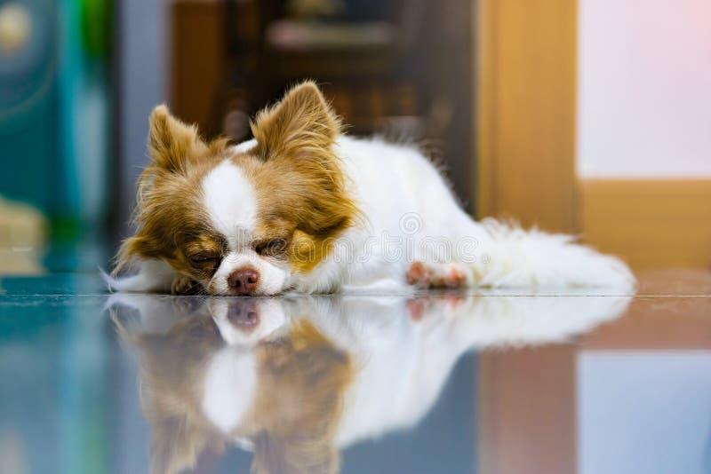 Luie hond, Leuke bruine en witte Chihuahua-slaap en het ontspannen op betegelde vloer royalty-vrije stock afbeeldingen