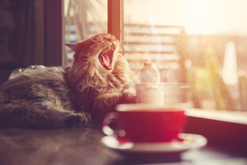 Luie kat die met de ochtendzonneschijn van de koffiekop geeuwen van vensters stock afbeelding