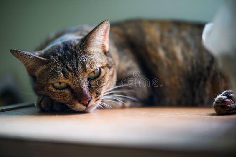Luie kat vóór het licht van de slaapschaduw stock foto's