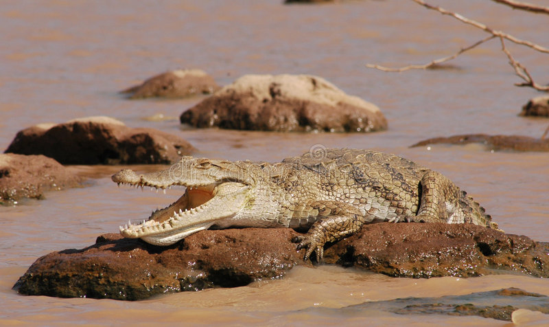 Luie Krokodil stock afbeelding