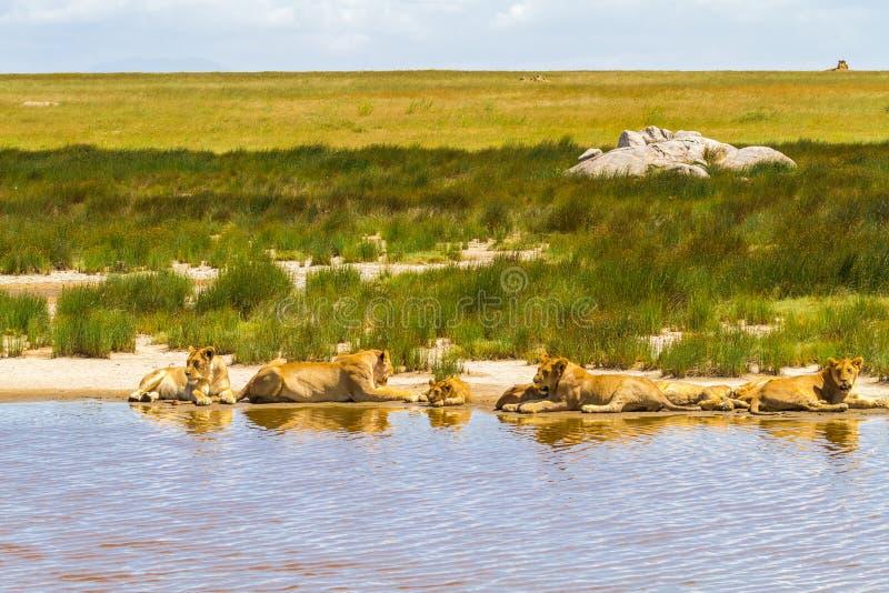 Luie leeuwen van Serengeti Dichtbij het water en dicht bij de prooi Tanzania, Afrika stock foto