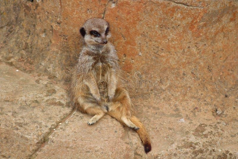 Luie meerkat royalty-vrije stock foto