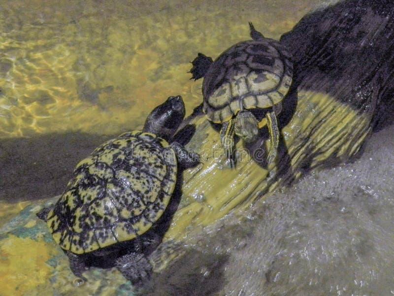 Luie schildpadden stock foto