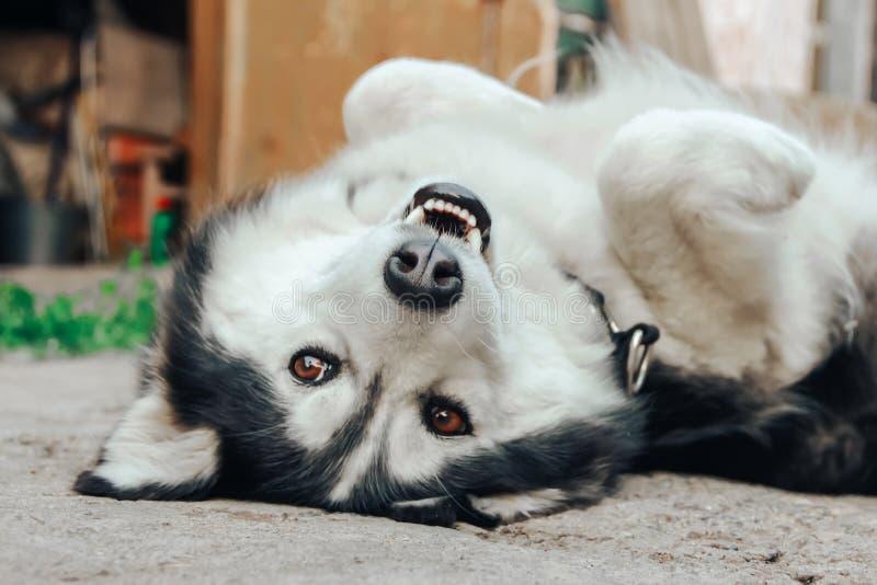 Luie Schor hondslaap op zijn rug in de werf royalty-vrije stock afbeelding