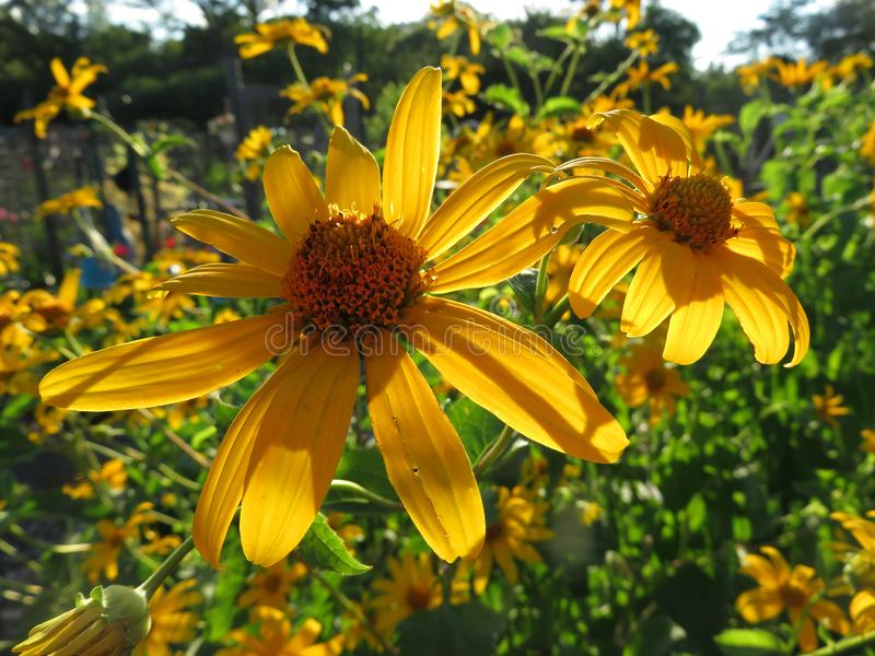 Luie Susan Flowers in de de Zomertuin bij Zonsondergang stock foto's