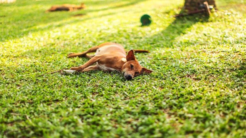 Luie verdwaalde hond die op het verse groene grasgazon liggen stock afbeeldingen