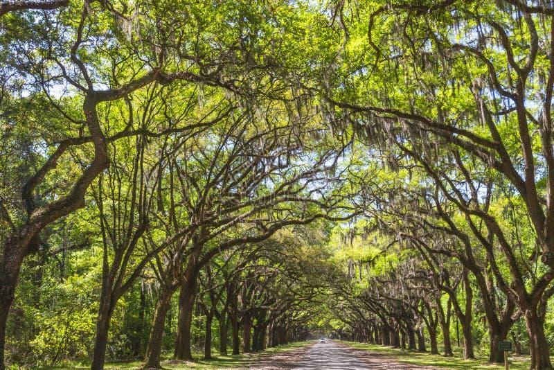 Luifel van oude levende eiken die bomen in Spaans mos worden gedrapeerd royalty-vrije stock afbeelding