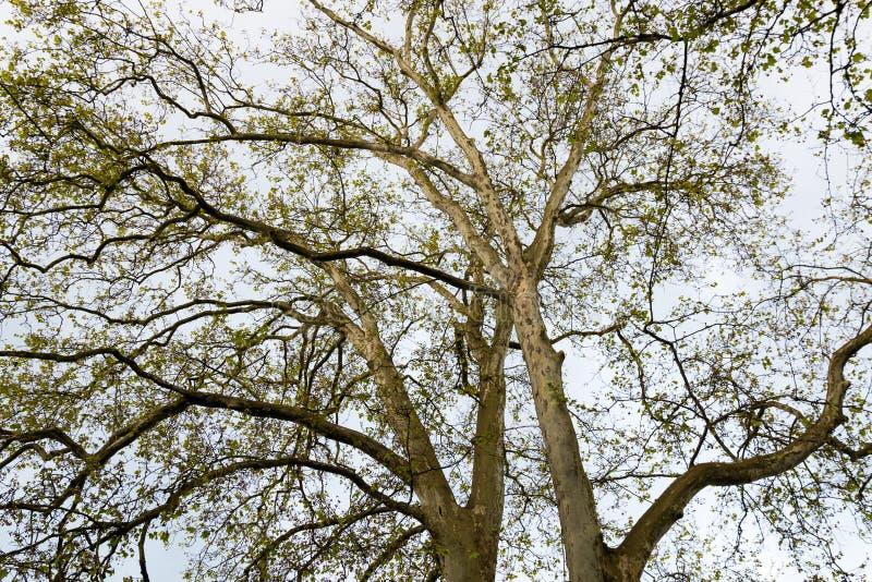 Luifel van sycomoorbomen, natuurlijke achtergrond stock afbeelding