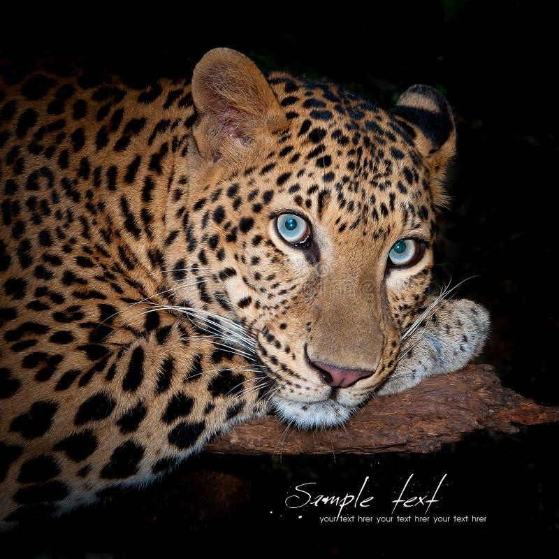 Luipaard royalty-vrije stock foto's