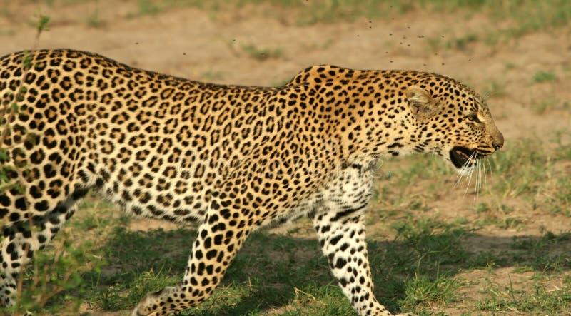 Download Luipaard stock afbeelding. Afbeelding bestaande uit zoogdieren - 10782247