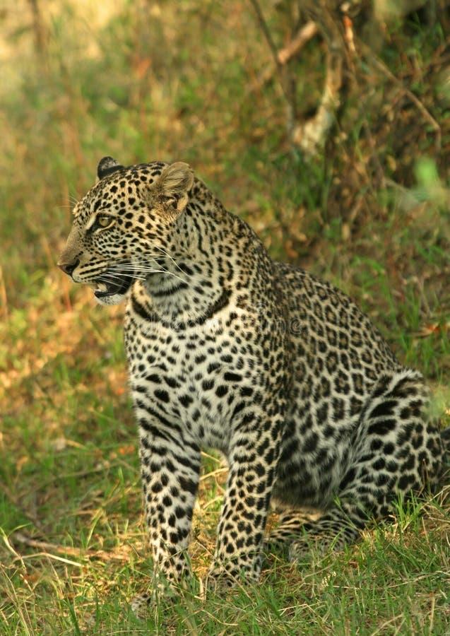 Download Luipaard stock afbeelding. Afbeelding bestaande uit roofdieren - 10782263