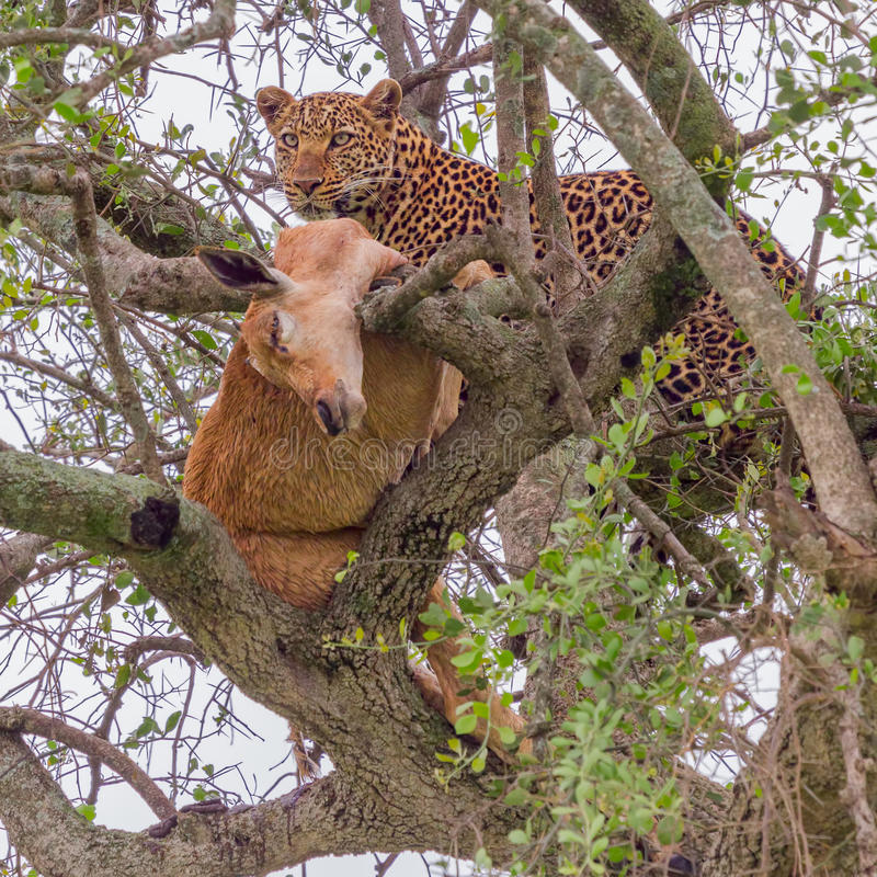 Luipaard in Boom met Impala stock foto