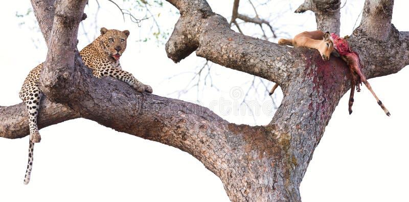 Luipaard die in grote half gegeten boom met zijn doden rusten royalty-vrije stock afbeeldingen