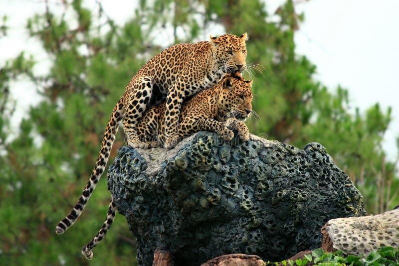 Luipaard die Intimiteit doet stock afbeeldingen