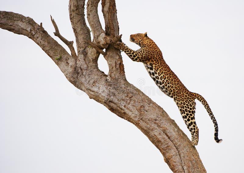 Luipaard die op de boom springt royalty-vrije stock foto's