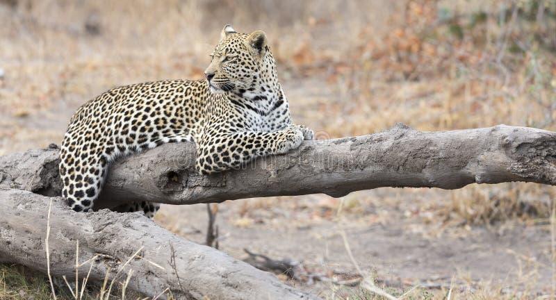 Luipaard die op een gevallen rust van het boomlogboek na de jacht rusten stock afbeeldingen