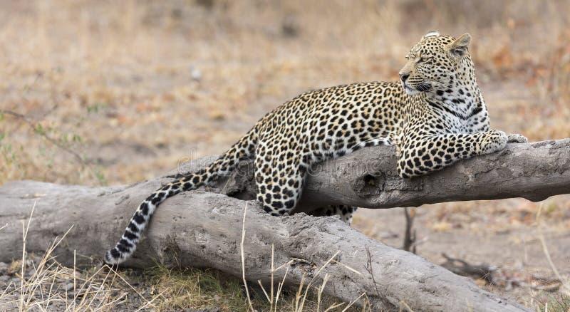 Luipaard die op een gevallen rust van het boomlogboek na de jacht rusten stock foto's