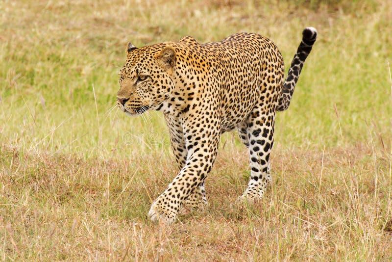 Luipaard die op gras lopen royalty-vrije stock afbeelding