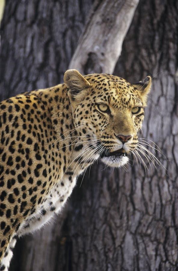 Luipaard die (Panthera Pardus) zich naast boom bevinden royalty-vrije stock foto