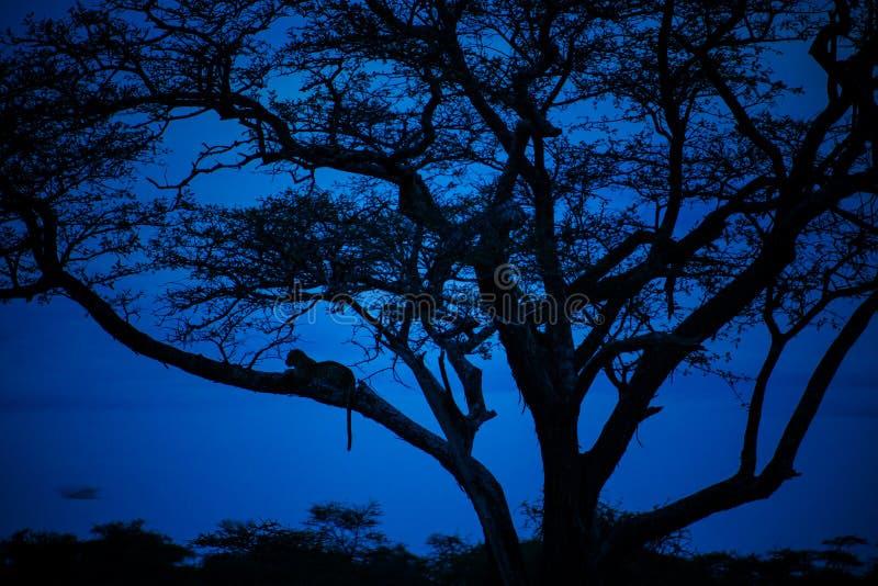 Luipaard die van de blauwe uren genieten stock afbeelding