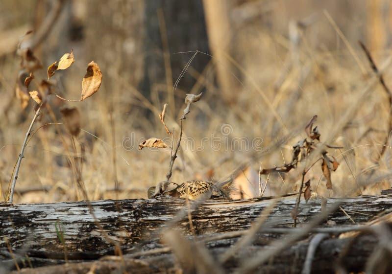 Luipaard die van de boomboomstam piepen stock foto