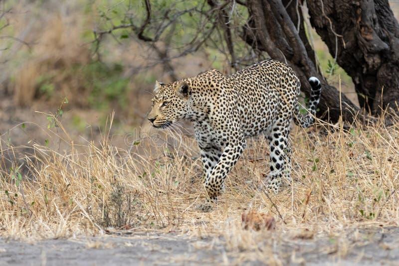 Luipaard die in Zuid-Afrika lopen royalty-vrije stock foto