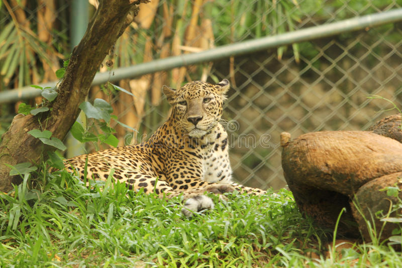 Luipaard in dierentuin stock foto