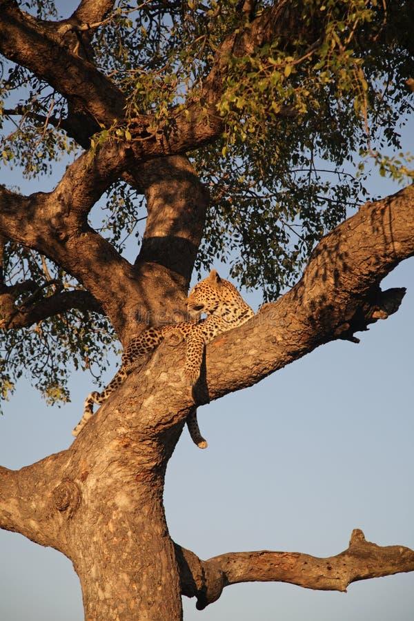Luipaard in een boom royalty-vrije stock foto