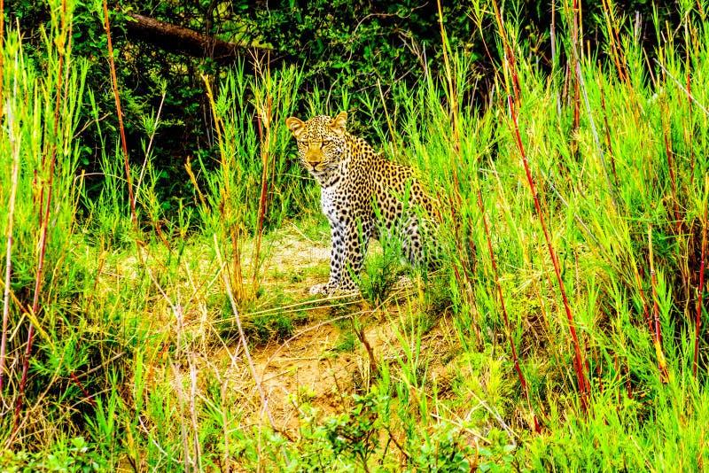 Luipaard in het Hoge Gras langs de Olifant-Rivier in het Nationale Park van Kruger stock foto