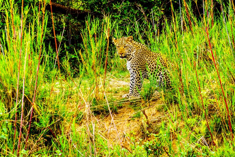 Luipaard in het Hoge Gras langs de Olifant-Rivier in het Nationale Park van Kruger stock foto's