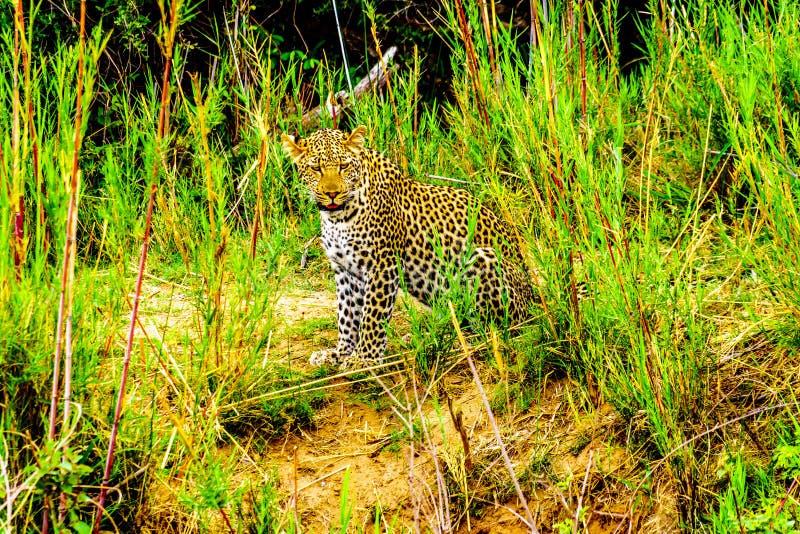 Luipaard in het Hoge Gras langs de Olifant-Rivier in het Nationale Park van Kruger stock afbeeldingen