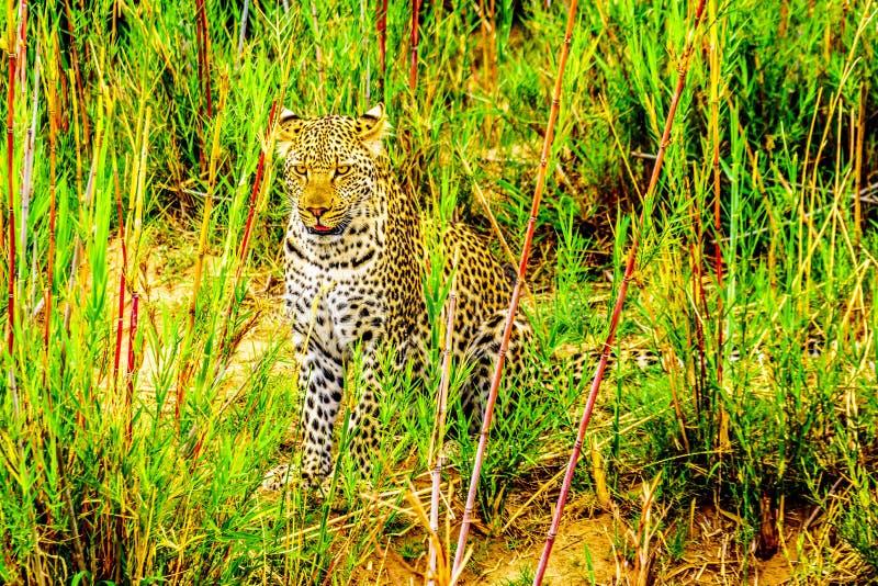 Luipaard in het Hoge Gras langs de Olifant-Rivier in het Nationale Park van Kruger stock afbeelding