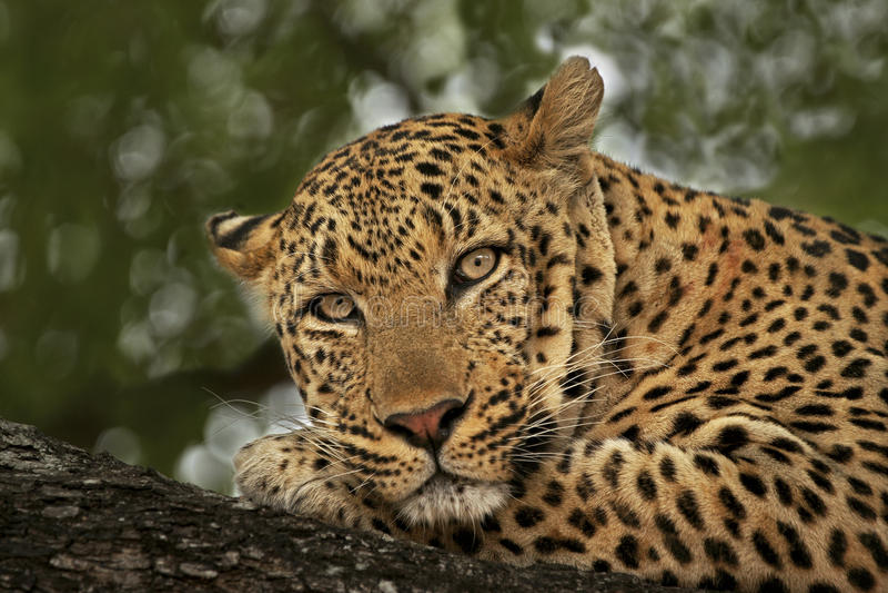 Luipaard mannelijke Portrait2 stock afbeeldingen