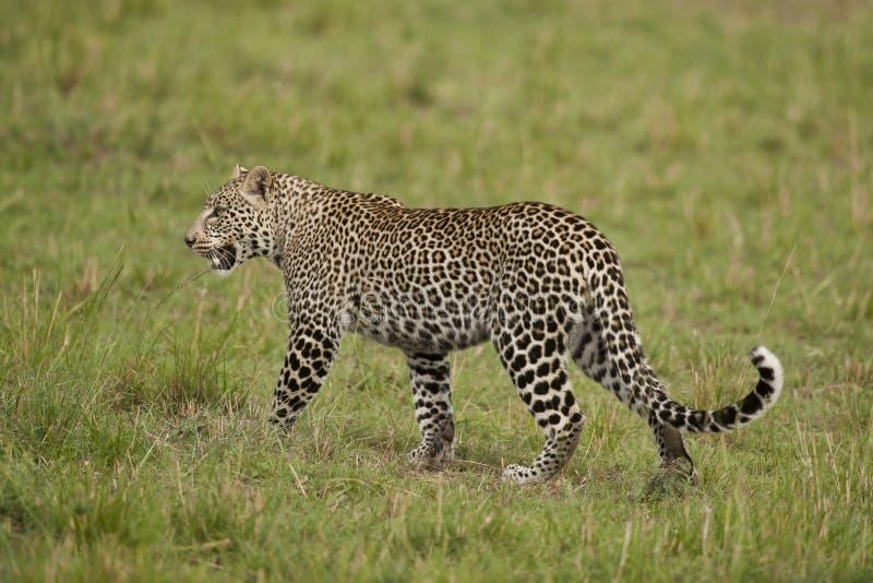 Luipaard in Masai Mara stock fotografie
