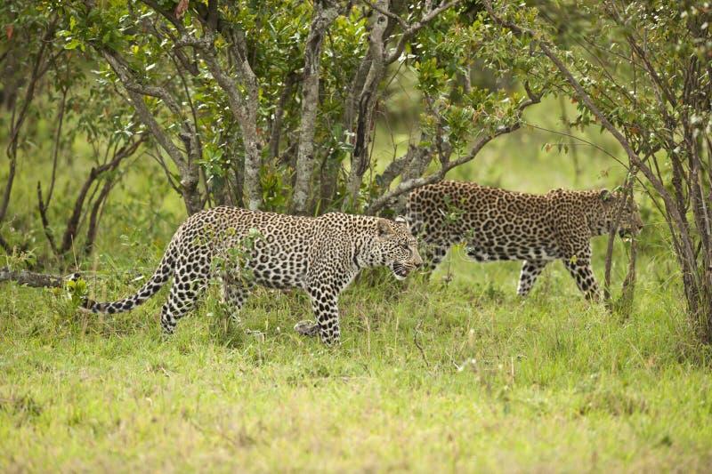 Luipaard in Masai Mara stock foto