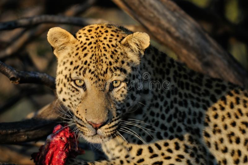 Luipaard met vangst, Namibië royalty-vrije stock fotografie