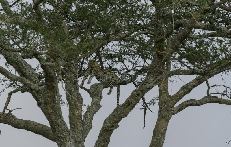 Luipaard omhoog hoog in boom, liggend over takken, die linker kijken royalty-vrije stock foto's