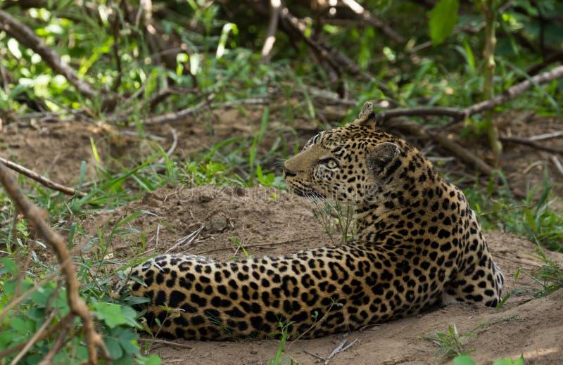 Luipaard onder dekking royalty-vrije stock afbeelding