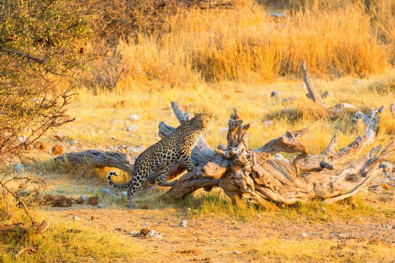 Luipaard op het vooruitzicht royalty-vrije stock afbeelding