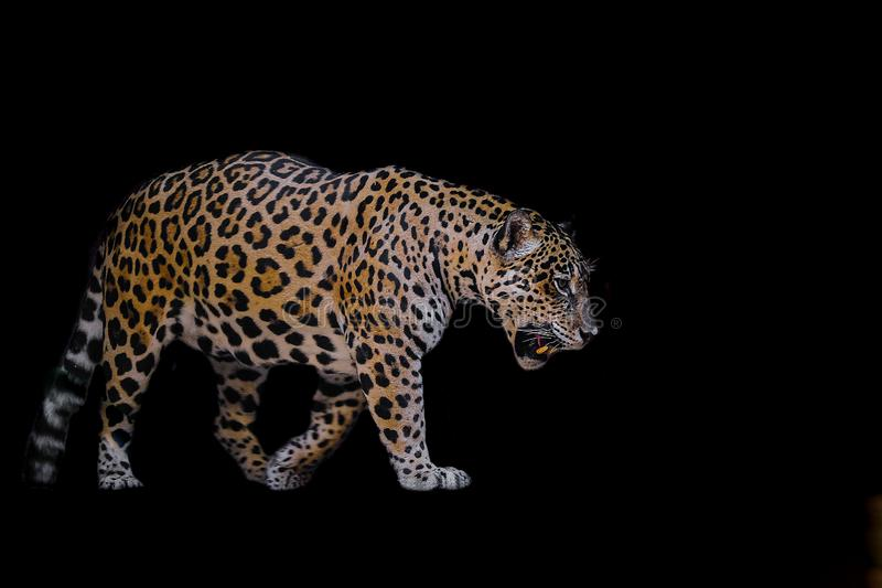 Luipaard op zwarte achtergrond stock fotografie