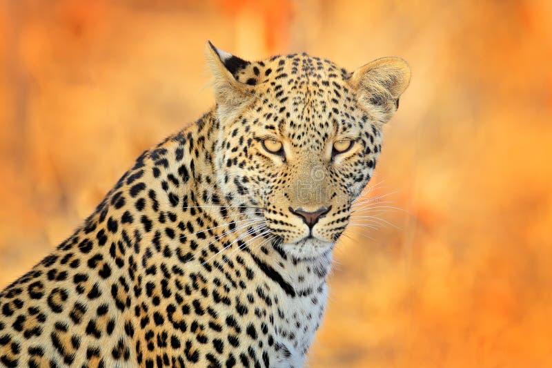 Luipaard, Panthera-pardusshortidgei, verborgen portret in het aardige gele gras Grote wilde kat in de aardhabitat, Hwange NP, Zim royalty-vrije stock afbeeldingen