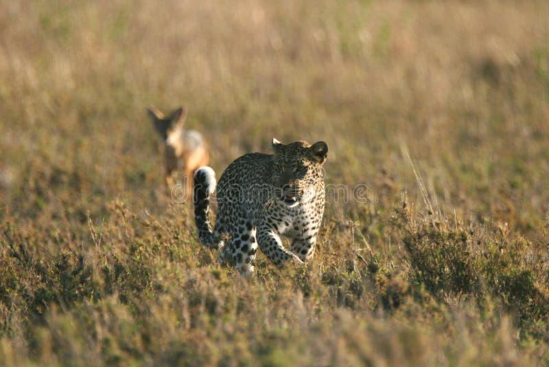 Luipaard tegen Jakhals stock fotografie