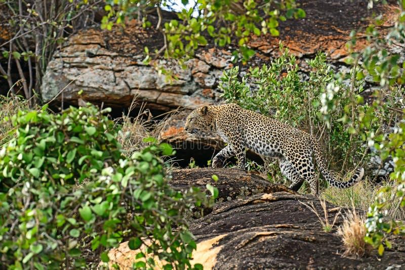Luipaard Tsavo royalty-vrije stock foto